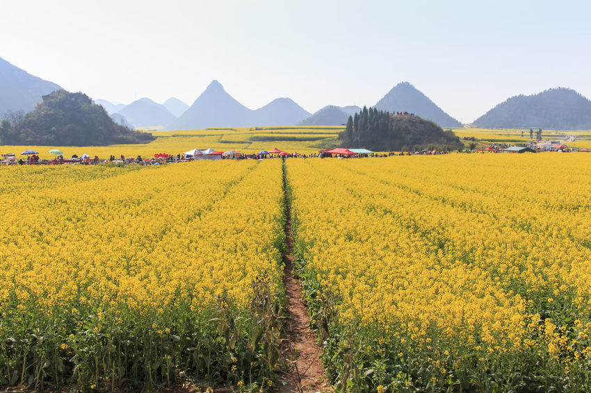 Luoping, China - February 28, 2016: Tourists walking among Rapeseed flowers fields of Luoping in Yunnan China. Luoping is famous for the Rapeseed flowers that bloom on early spring Agriculture ASIA Beauty In Nature China Colored Ricebags Crop  Festival Field Flower Growth Honey Landscape Mountain Mountain Range Nature Plant Rape Seed Rapeseed Rural Scene Scenics Tranquil Scene Tranquility Yellow Yunnan Yunnan ,China