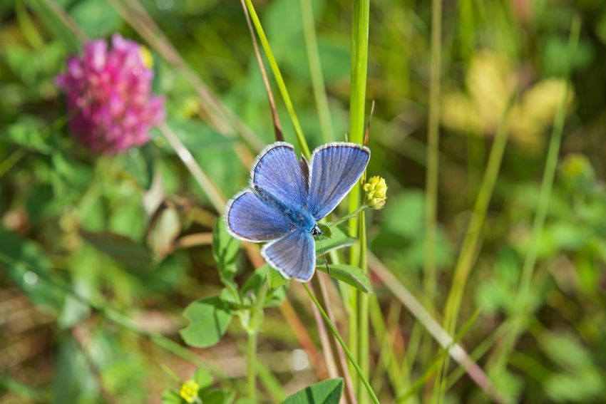 Summer Animal Themes Animals In The Wild Beauty In Nature Blue Butterfly Close-up Day Flower Flower Head Fragility Freshness Green Color Growth Nature No People One Animal Outdoors Plant Polyommatini