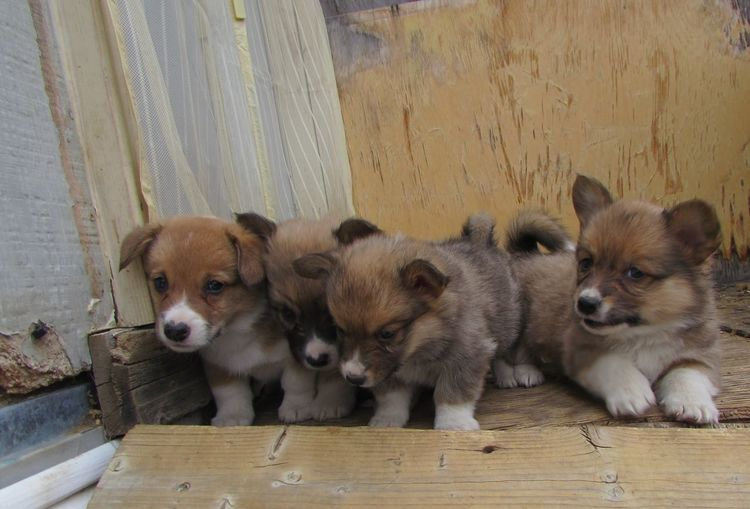 Adorable Corgi Corgipuppies Cute Cute Animals Cute Dog  Cute Pets Dog Dog Love Dogs Dogslife Fluffy Fluffy Dog Mammal Pets Portrait Pup Puppies Puppy Puppy Love Puppy❤ Relaxation Wood - Material Wooden Young Animal