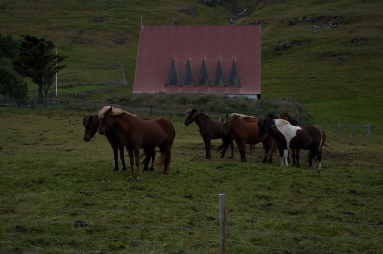 Field Horse Iceland Standing Nature