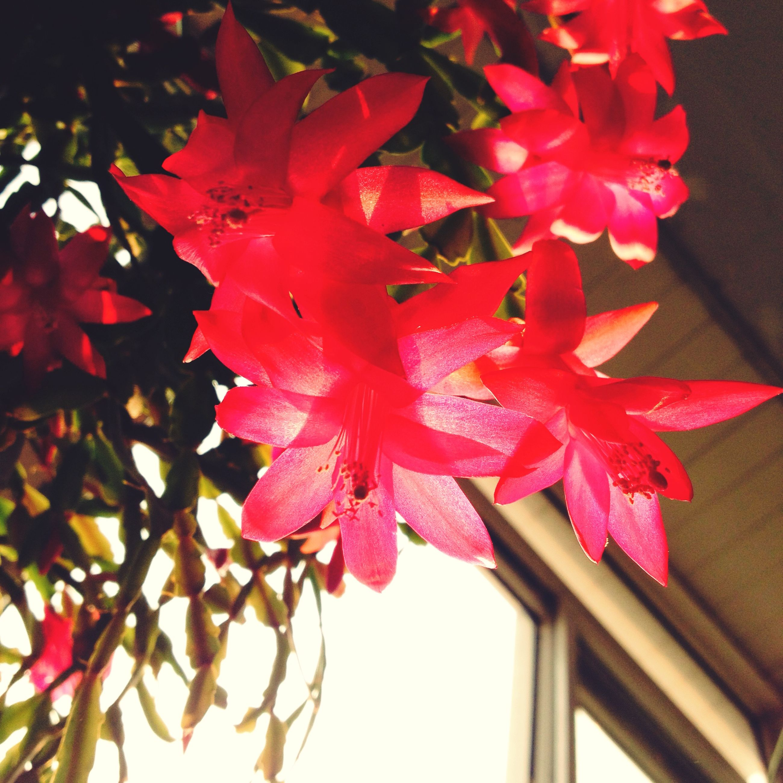 flower, petal, freshness, fragility, flower head, growth, beauty in nature, red, close-up, plant, nature, blooming, focus on foreground, leaf, in bloom, pink color, indoors, pollen, no people, blossom