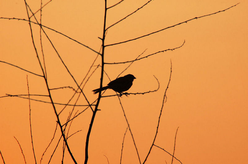 Low angle view of silhouette bird perching on plant against clear sky during sunset