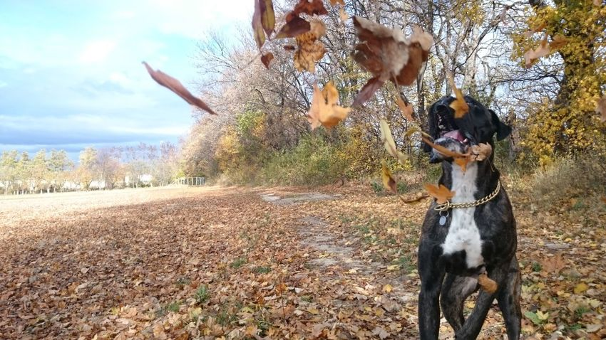 Apollo Dog Autumn Boxer Dog Boxerlove Autumn Leaves Playing With My Dog FUNNY ANIMALS I Love My Boxer Dog❤ Playing Dogs Photography In Motion