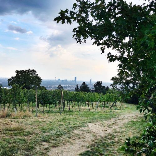 Viennese Wine Viennese Vineyards City Vineyards Vineyards  Tree Plant Sky Land Field Nature Cloud - Sky