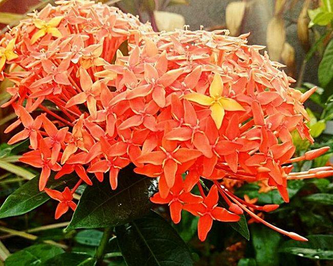 Soka Flower ASIA INDONESIA Bali Island Batubulan Naturelovers Nature_collection Text Red Food Close-up No People Freshness Day