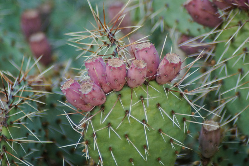 Close-up of cactus growing on plant