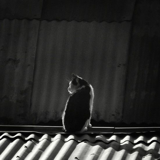 Photography Blanco Y Negro Cat Animal