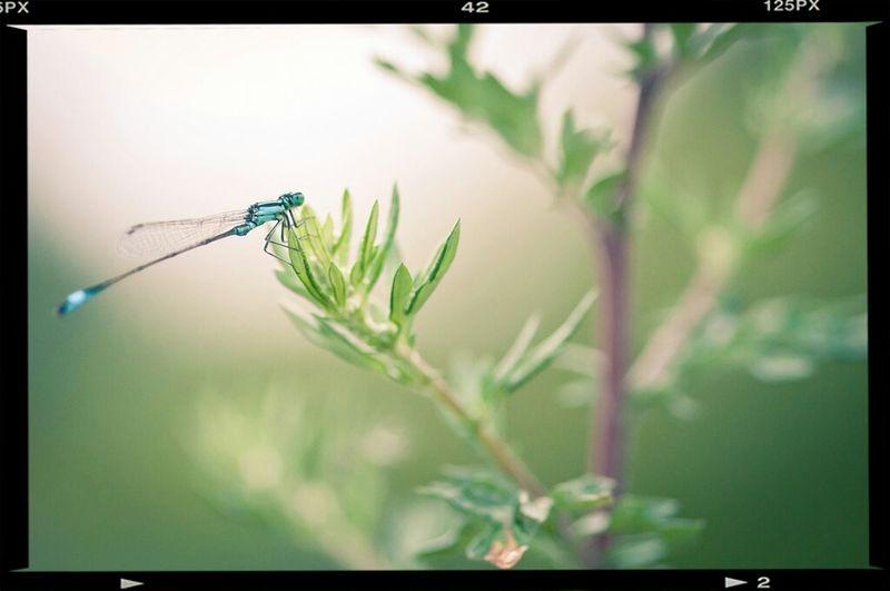 Damzel Fly