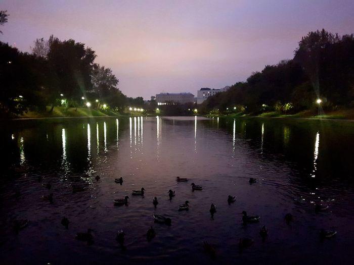 Swans swimming in lake at night