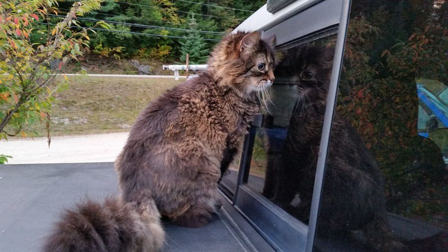 Mammal One Animal Pets Outdoors Animal Themes Domestic Cat Feline Domestic Animals No People Cat Reflection On Car Reflections In The Glass Windows Discovery Rear View Curiosity Who Are You ? Inquisitive