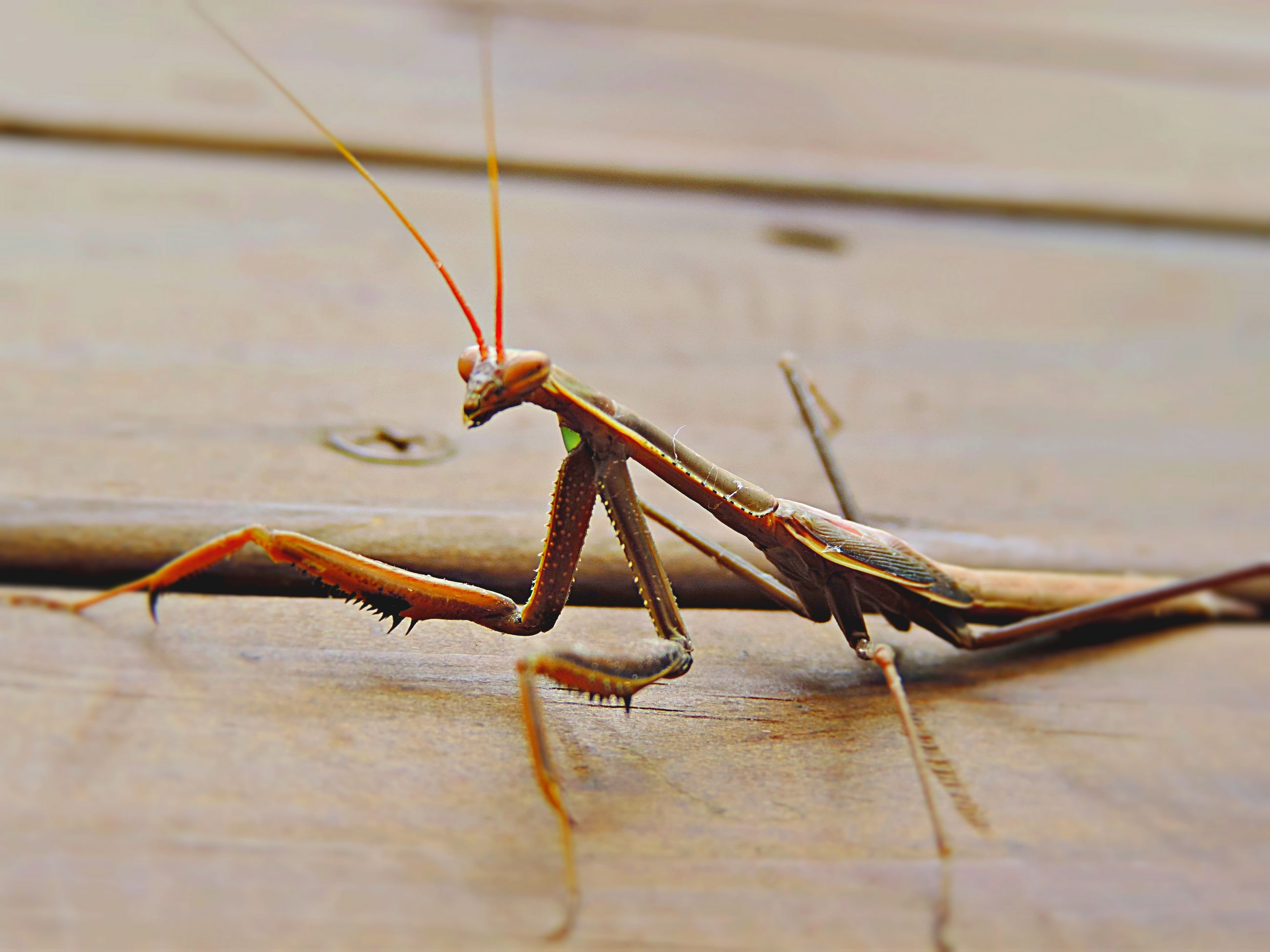 one animal, animals in the wild, animal themes, insect, wildlife, selective focus, grasshopper, praying mantis, close-up, full length, animal antenna, zoology, arthropod, focus on foreground, no people
