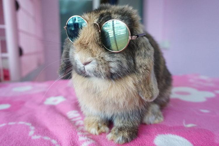 Cute Rabbit ,bunny Bunny  Rabbit Cute Pets Cute Rabbit Holland Lop Pets Portrait Sitting Humor Close-up