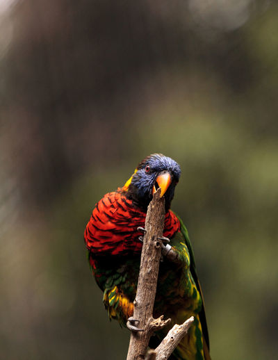 Close-up of rainbow lorikeet perching on twig