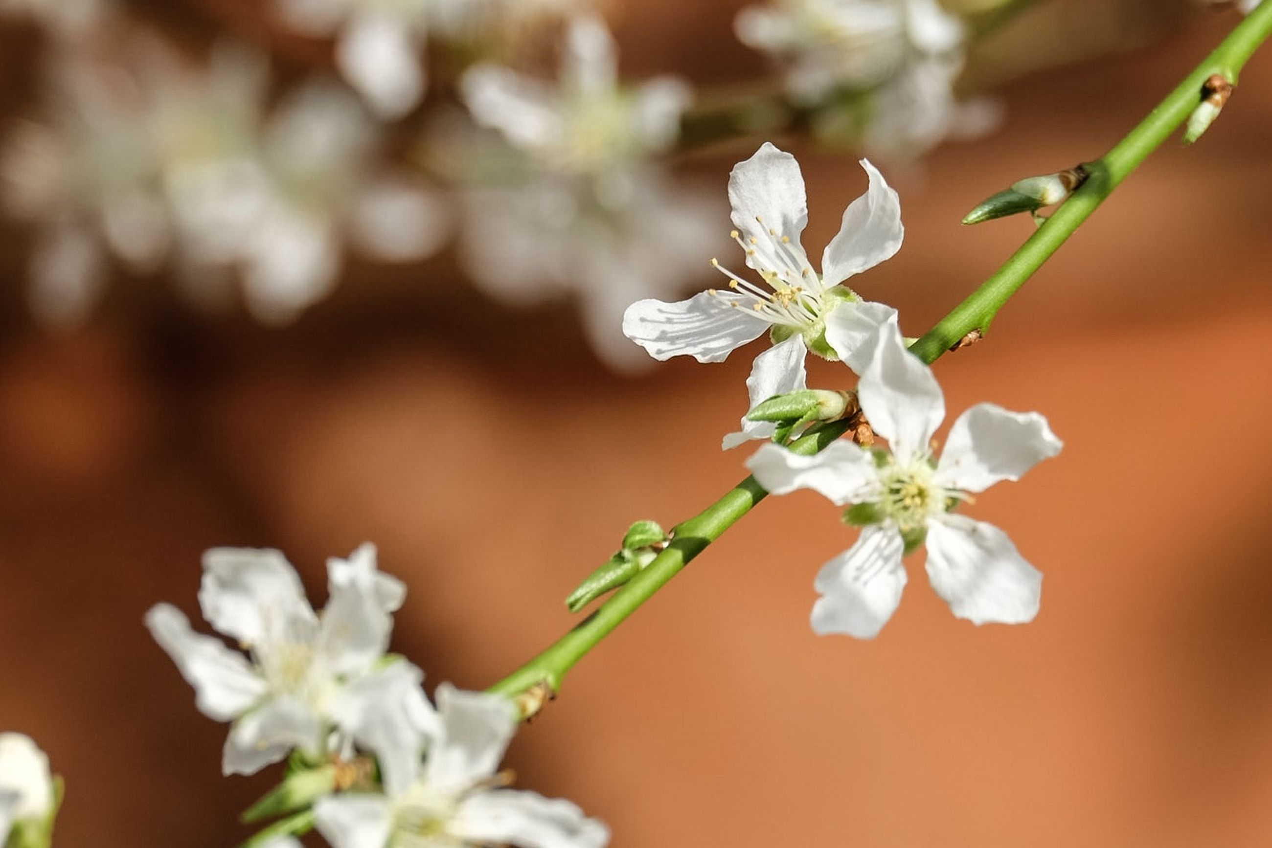 flower, white color, freshness, fragility, petal, focus on foreground, growth, beauty in nature, flower head, close-up, nature, blooming, blossom, stem, in bloom, white, cherry blossom, selective focus, plant, stamen