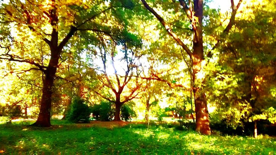 Yellow Green Yellow Leaves Green Leaves Tree Trees Taking Photos Sun Nature Naturelovers EyeEm Nature Lover Hello World Trees With Leaves Autumn🍁🍁🍁 Colors Of Autumn Autumn Leaves Autumn Colors Autumn 2015