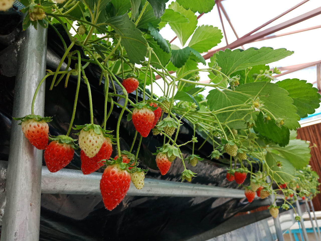 healthy eating, plant, freshness, food and drink, fruit, growth, plant part, leaf, food, wellbeing, no people, day, green color, nature, berry fruit, red, potted plant, close-up, strawberry, outdoors, ripe, flower pot