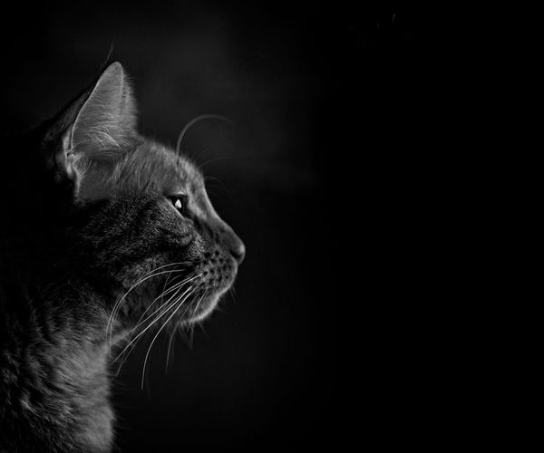 ... the world has need of dreamers as well as shoemakers. Catsofeyeem Copy Space Horizontal Animal Head  Animal Portrait Animal Themes Black And White Portrait Black Background Blackandwhite Photography Cat Close-up Couriousity Domestic Animals Domestic Cat Feline Indoors  Isolated On Black Looking Sideways Mammal No People One Animal Pentax Pets Tabby Cat Whisker