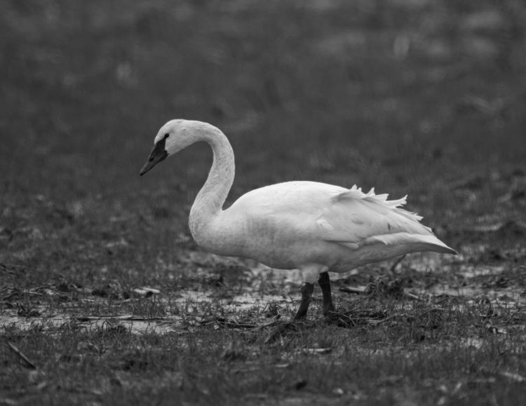 Bird Photography Birds Of EyeEm  Black & White EyeEm Nature Lover Skagit River Delta Wildlife & Nature Animal Themes Animal Wildlife Animals In The Wild Bird Birds_collection Black And White Close-up Day Full Frame Grass Nature No People One Animal Outdoors Skagit Skagit Valley Swan Trumpeter Swan Wildlife