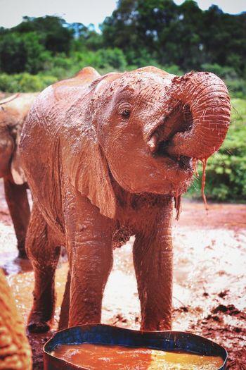 Another amazing resue by the Davidsheldrickwildlifetrust - sweet little thing. Innocent Elephant Nurture  Nurture Nature Water Babyelephant Kenya Savetheelephants Stoppoaching Worthmorealive Itstheirworldtoo Connected By Travel