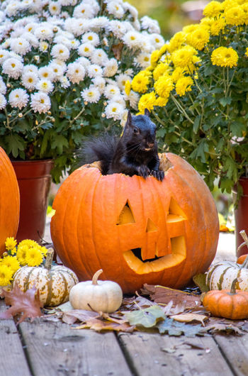 Squirrel by plants in jack on lantern