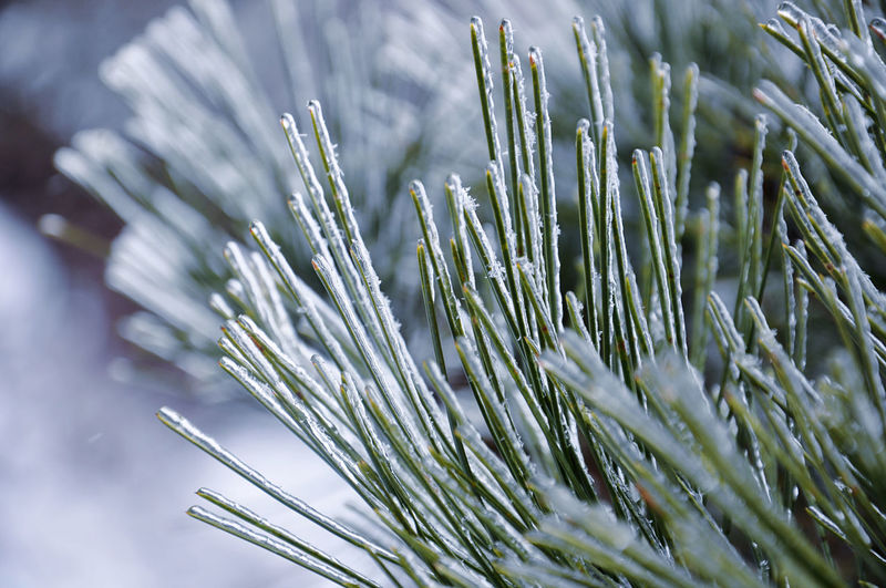 Close-up of icicles on pine tree needles