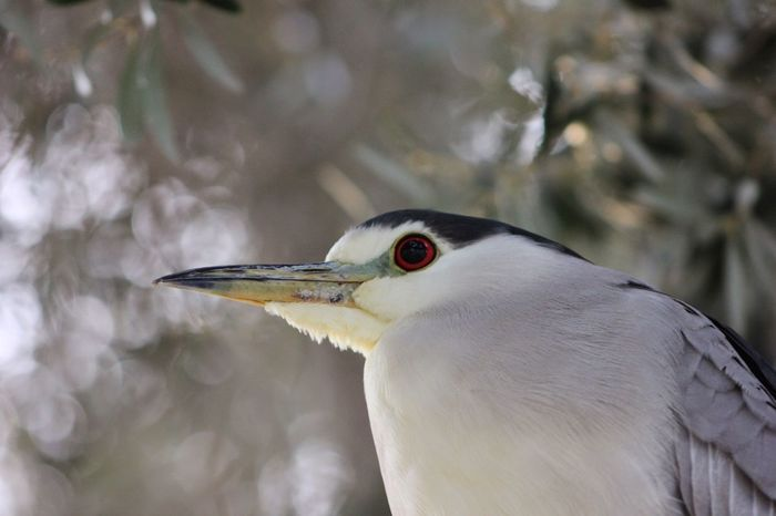 Redeyes Bird Photography Red eyes in the trees