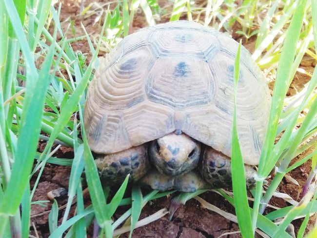 Tortoise Shell Tortoise Reptile Sea Turtle Portrait Looking At Camera Pets Turtle High Angle View Animal Shell Snail Antenna Leaf Vein Gastropod Shell Mollusk Crawling Slow Mating Animals Mating Television Aerial Caterpillar Mussel Ground Animal Antenna