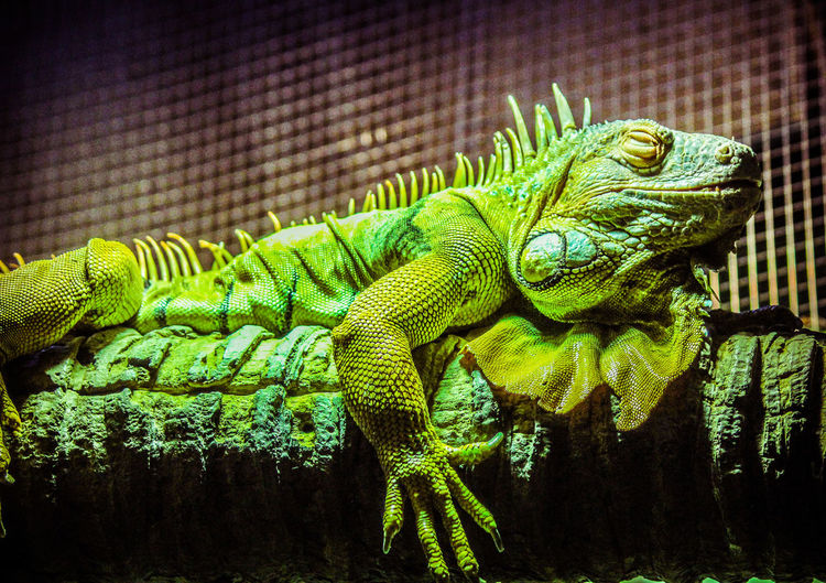 Animal Scale Animal Themes Animal Wildlife Chameleon Close-up Day Green Color Iguana Lizard Nature No People One Animal Reptile