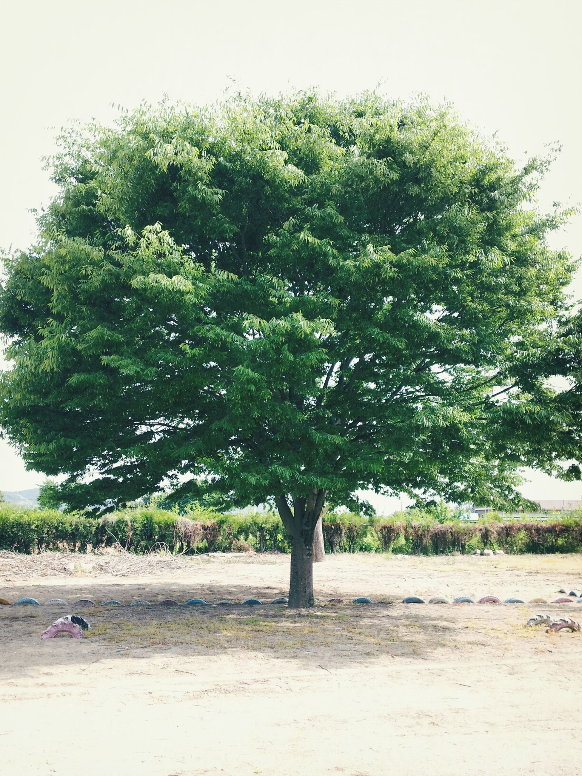 tree, growth, tranquility, nature, field, tranquil scene, beauty in nature, green color, landscape, clear sky, day, sunlight, branch, outdoors, scenics, sky, grass, park - man made space, plant, tree trunk