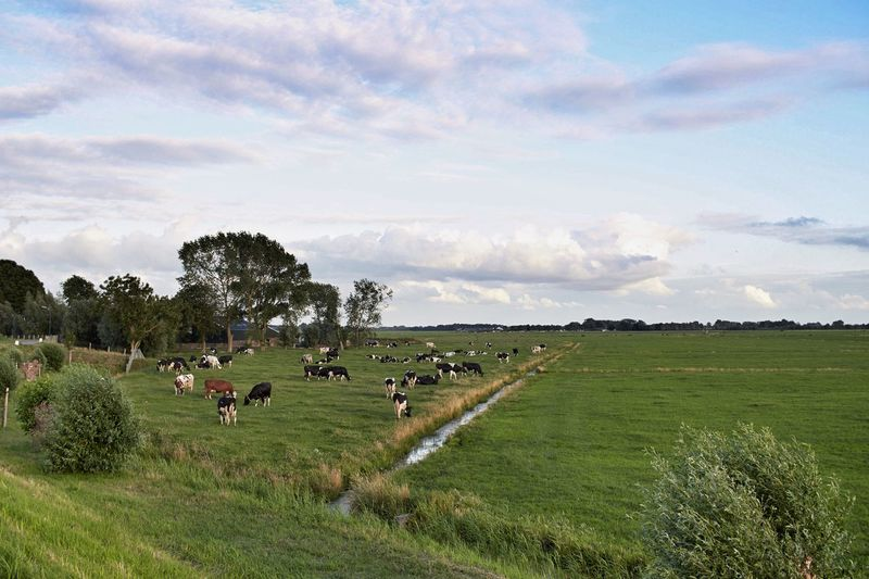 Landscape Cows This Evening's Horizon Dutch Landscape Sky And Clouds Dutch Countyside Flat Flat Flat