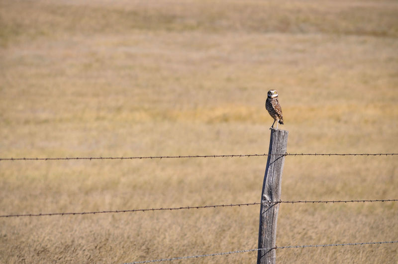 Bird Owl Burrowing Owl Raptor Bird Of Prey Predator Perching Fence Post Fence Post Barbed Wire Plains Prairie Animal Animals In The Wild Animal Wildlife Wooden Post Grassland One Animal Nature Field Ranch Animal Themes No People Outdoors