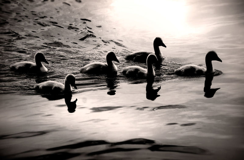 Animals In The Wild Baby Cute Pets Family Animal Themes Animal Wildlife Animals In The Wild Beauty In Nature Beauty In Nature Bird Cutness Lake Large Group Of Animals Nature No People Outdoors Reflection Signet Signets Silhouette Smile Swan Swimming Water Water Bird