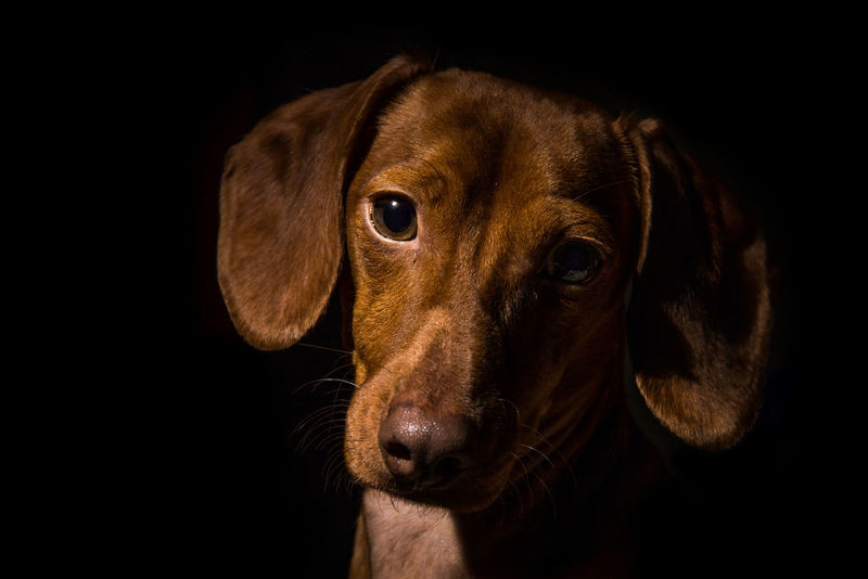 Animal Themes Dachshund Dog Full Frame Hot Dogs Pet Portrait Red Color Smooth Weeniedog Wiener Dog