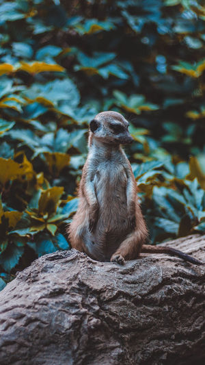 Meerkat sitting on branch in forest