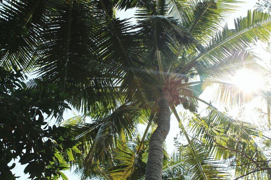 Palmtree Palm Trees Sunset Bali, Indonesia Beach Photography Sunset_collection Lovina Beach Beach