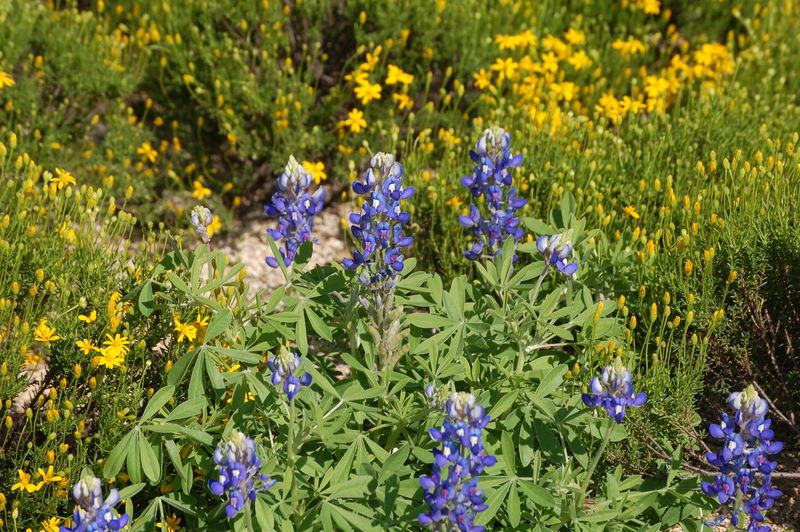 Texas Wildflowers Beauty In Nature Blooming Blossom Blue Bluebonnet Botany Botany Bay Day Field Flower Flower Head Fragility Freshness Grass Green Color Growth In Bloom Nature Outdoors Petal Plant Purple Tranquility Wildflower Yellow