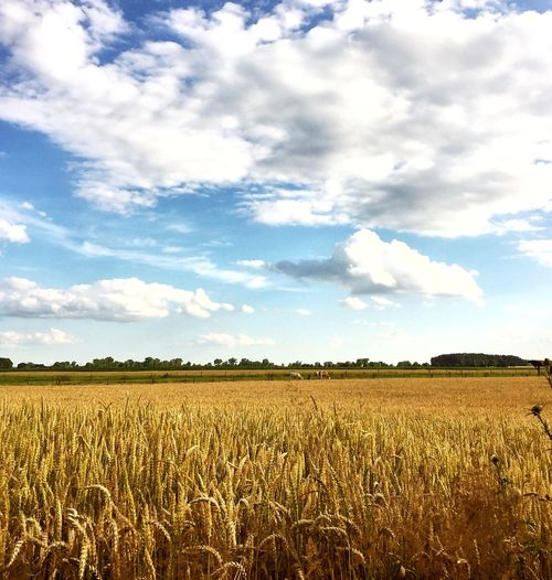 Agriculture Beauty In Nature Cereal Plant Cloud Cloud - Sky Crop  Cultivated Land Day Farm Field Grass Growth Horizon Over Land Idyllic Landscape Nature No People Outdoors Plant Rural Scene Scenics Sky Tranquil Scene Tranquility Wheat
