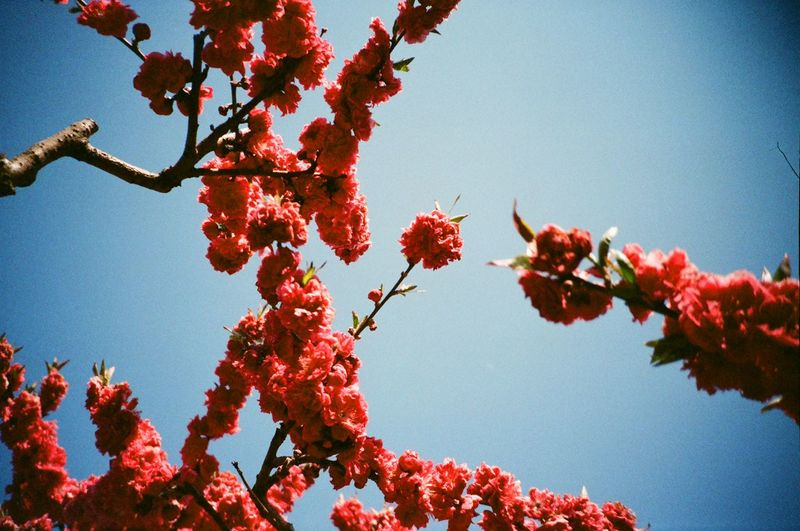 #Filmcamera #beautiful #bluesky #cherryblossom #film #filmphotography #japan #osaka #photooftheday #red #sakura #sakura2017 #spring #throwback #travel #travelphotography Blooming Clear Sky Springtime