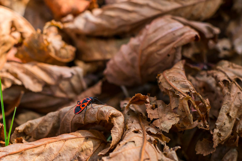 firebug on chestnut leaves Firebug On Chestnut Leaves Firebug Dry Invertebrate Insect Selective Focus Leaf Plant Part Day Leaves Animal No People Close-up Animal Themes Nature Animal Wildlife Autumn Outdoors Change Animals In The Wild Focus On Foreground One Animal Dried