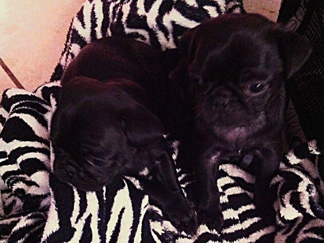 Pug Life  Brothers TryingToBeCute Babies