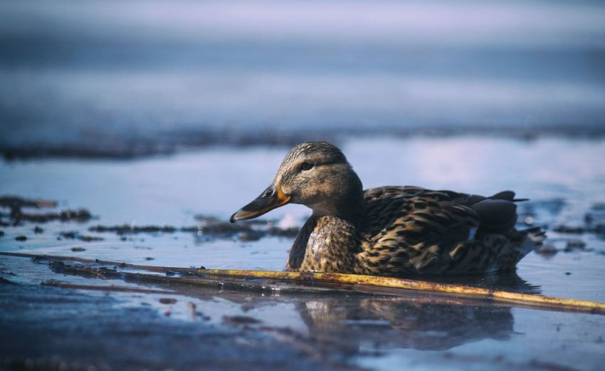 Nature Nature_collection Beauty In Nature Animal Themes Animals In The Wild Wildlife Animal Snow Bird Water Lake Winter Swimming Close-up Water Bird Mallard Duck Duckling