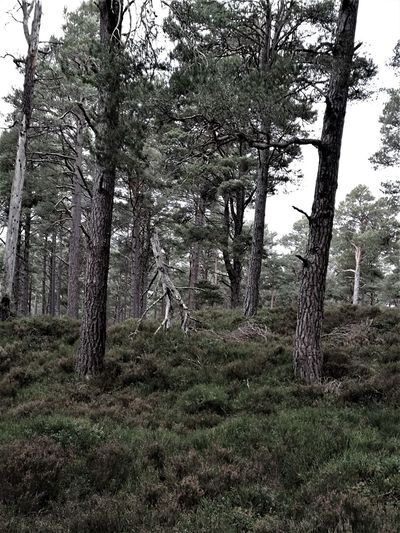 Scotland Stickman In The Woods TreeBeard Wood Beauty In Nature Day Forest Growth Landscape Nature No People Outdoors Scenics Sky Stickman Tranquil Scene Tranquility Tree Tree Trunk Walking Tree