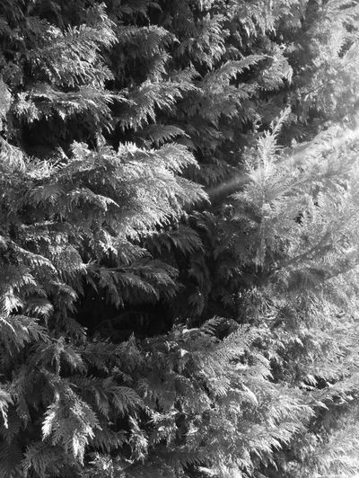 Monochrome 🌲 Shadowsandlights monochrome photography Nopeople Nofilter Mono Nature Blackandwhite Monochrome Full Frame Backgrounds No People Nature Day Outdoors Beauty In Nature Close-up Tree