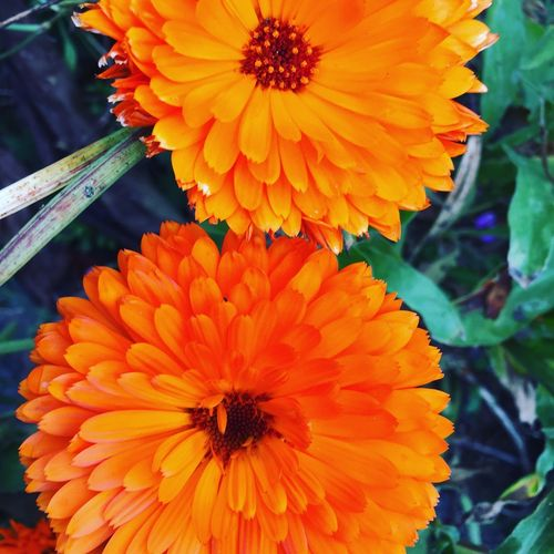 Flower Flowering Plant Flower Head Freshness Vulnerability  Petal Fragility Vibrant Color No People Orange Color Beauty In Nature Growth Inflorescence Focus On Foreground Close-up Plant Day Pollen Nature Outdoors