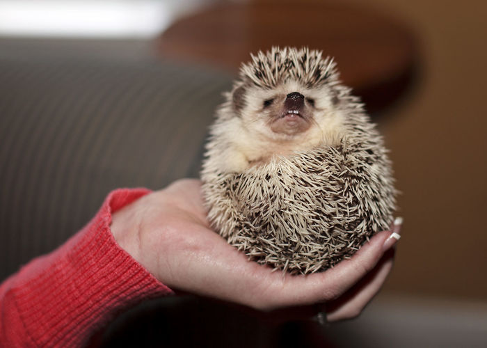 Hedgehog Lovew Baby Hedgehog Animal Themes Close-up Cute Pet Cutenessoverload Hedgehog Holding Human Hand One Animal
