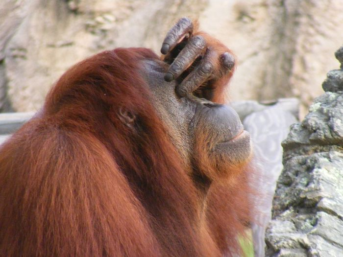 Face palm Nature Mammal Animal Themes Animal Head  Orangutan