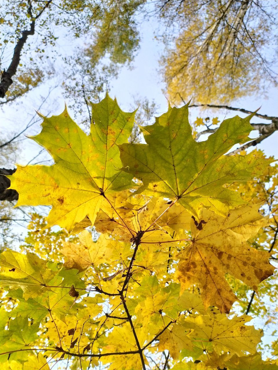 LOW ANGLE VIEW OF YELLOW MAPLE LEAVES
