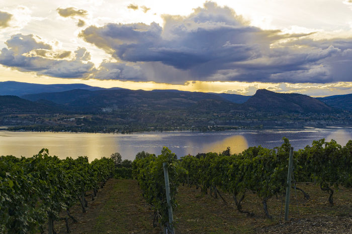 Sunset over a vineyard, Naramata Bench, near Penticton, BC, September 2016 Cloud - Sky Cloudscape Countryside Lake Lakeside No People Outdoors Plant Relaxation Scenics Sky Solitude Sunset Tranquility Vines Vineyard Vineyards  Vineyardvines Vinyard Vinyards Vinyardsunset Water Wine Winery