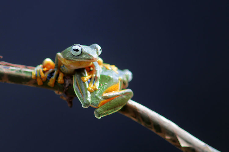 Wallace's flying frog, tree frog on a branch Animal Themes Animal One Animal Animal Wildlife Animals In The Wild Close-up Reptile No People Branch Nature Lizard Vertebrate Focus On Foreground Copy Space Frog Chameleon Twig Amphibian Black Background Outdoors Animal Eye Animal Head
