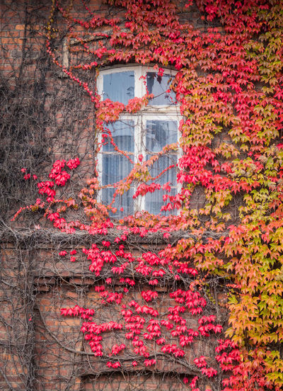 Red ivy on house with white window Change Autumn Architecture Building Exterior Plant Built Structure Building No People Ivy Leaf Nature Plant Part Growth Day Red Flower Outdoors Flowering Plant Beauty In Nature Creeper Plant